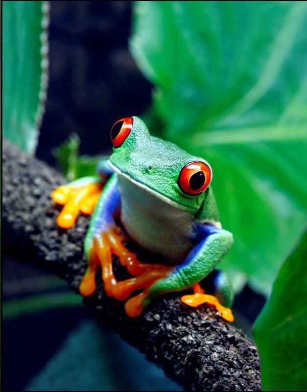 Stanovnik tropske šume u Amazonu, tropska žaba